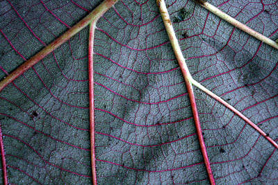 Photograph - Grey Leaf With Purple Veins by Jennifer Bright