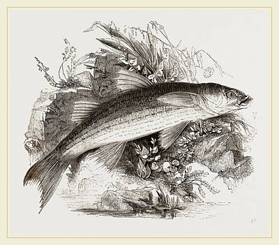 Grey Mullet Drawing - Grey Mullet by Litz Collection