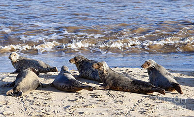 Photograph - Grey Seal Colony On Horsey Beach by Paul Cowan