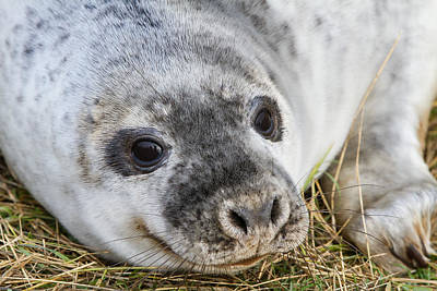 Photograph - Grey Seal Pup by Bob Kemp