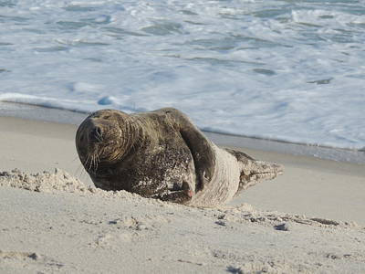 Grey Seal Pup On Beach Print by Kimberly Perry