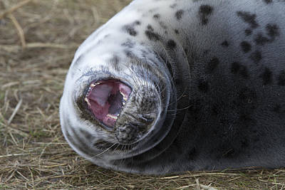 Photograph - Grey Seal Pup Yawning by Bob Kemp