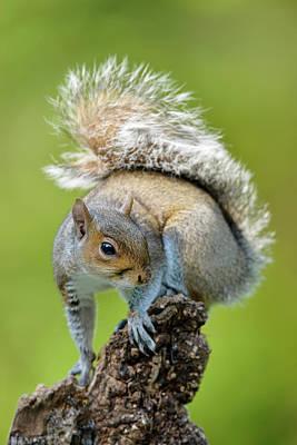 Eastern Grey Squirrel Photograph - Grey Squirrel by Dr P. Marazzi
