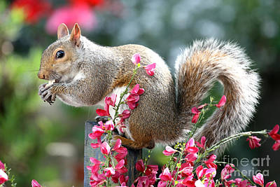 Photograph - Grey Squirrel In The Broom Flowers by Terri Waters