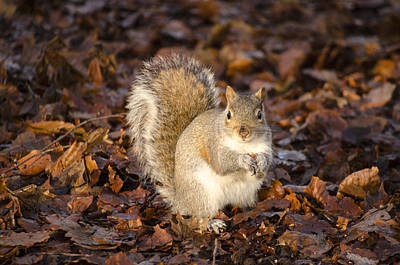 Photograph - Grey Squirrel by Spikey Mouse Photography