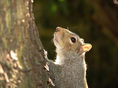 Grey Squirrel Art Print by Ron Harpham