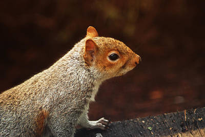 Photograph - Grey Squirrel by Ron Roberts
