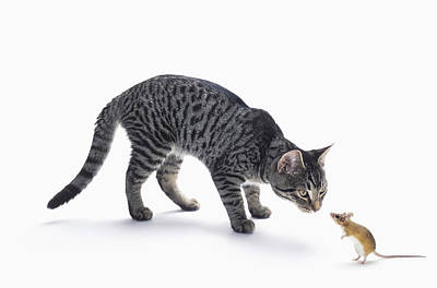 Gray Tabby Photograph - Grey Tabby Cat And Mouse Staring by Thomas Kitchin & Victoria Hurst
