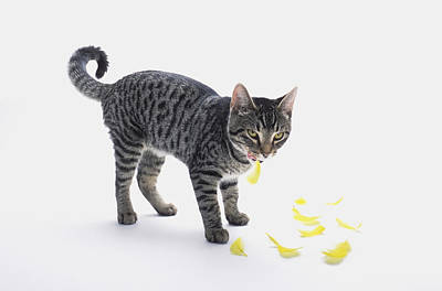 Gray Tabby Photograph - Grey Tabby Cat Licking His Lips by Thomas Kitchin & Victoria Hurst