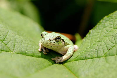 Photograph - Grey Tree Frog by David Pickett