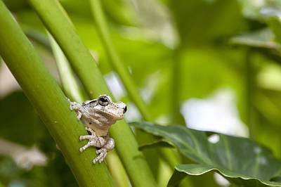 Photograph - Grey Tree Frog by Robert Camp