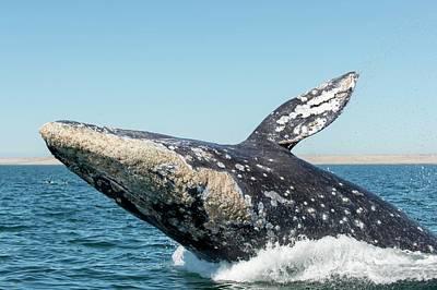 Grey Whale Breaching Art Print by Christopher Swann