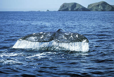 Grey Whale Tail Art Print by M. Watson