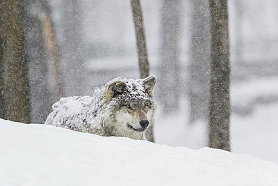 Grey Wolf  Canis Lupus  During A Snow Art Print by Dominic Marcoux