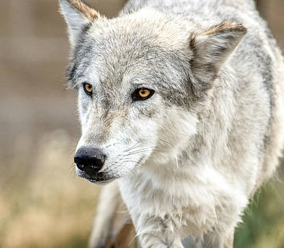 Art Print featuring the photograph Grey Wolf Eyes by Yeates Photography