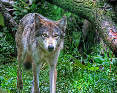 Photograph - Grey Wolf by Mary Almond
