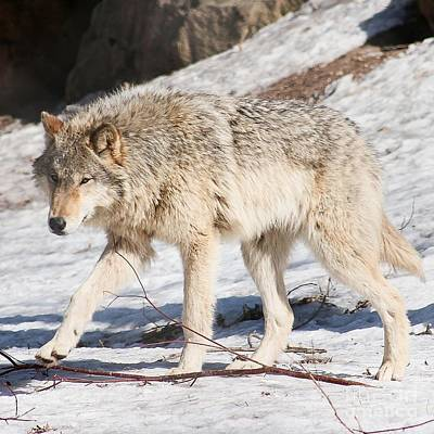 Nikki Vig Royalty-Free and Rights-Managed Images - She Wolf - Gray Wolf by Nikki Vig