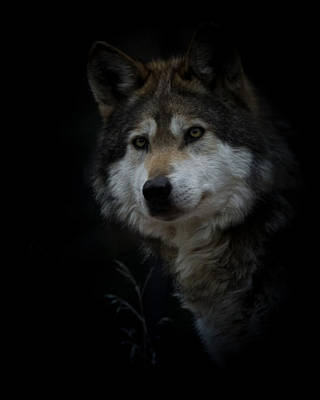 Photograph - Grey Wolf Portrait by Ernie Echols