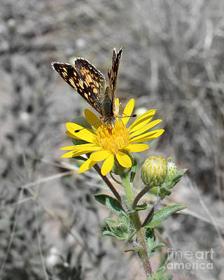 Photograph - Greyed Butterfly by Arizona  Lowe