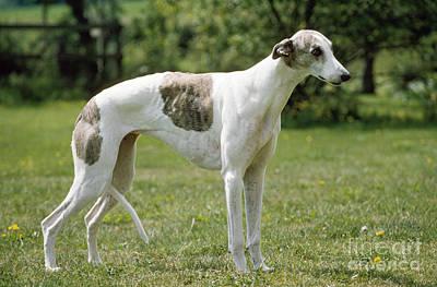Greyhound Photograph - Greyhound Dog by John Daniels