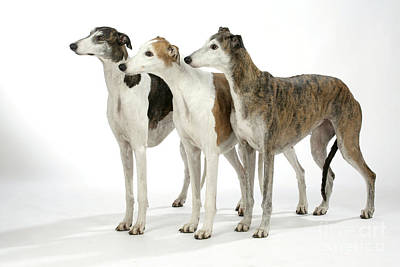 Sighthound Photograph - Greyhound Dogs by John Daniels
