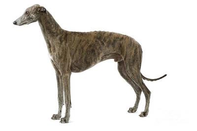 Greyhound Art Print by Jean-Michel Labat