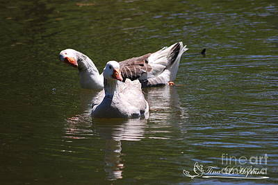 Photograph - Greylag Geese 20130512_52 by Tina Hopkins