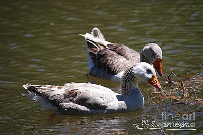 Photograph - Greylag Geese 20130512_62 by Tina Hopkins