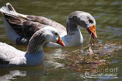 Photograph - Greylag Geese 20130512_64 by Tina Hopkins