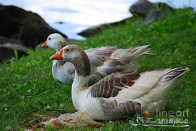 Photograph - Greylag Geese 20130528_193 by Tina Hopkins