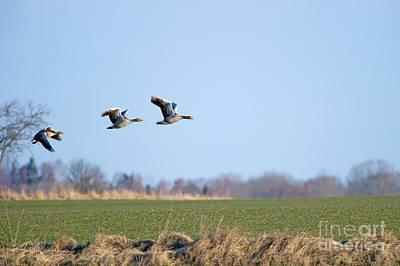 Greylag Geese Flying Away Art Print by Torbjorn Swenelius