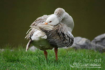 Photograph - Greylag Goose 20130508_160 by Tina Hopkins