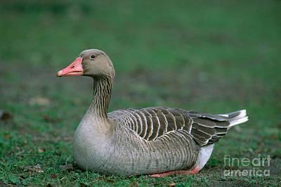 Goose Portrait Photograph - Greylag Goose by Christian Grzimek
