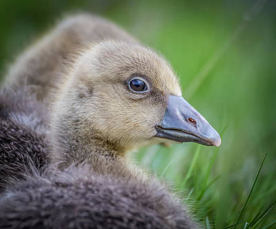 Gosling Photograph - Greylag Goslings, Iceland by Panoramic Images
