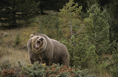 Raging Photograph - G&rgrambo Mm-00010-00513, Grizzly by Rebecca Grambo