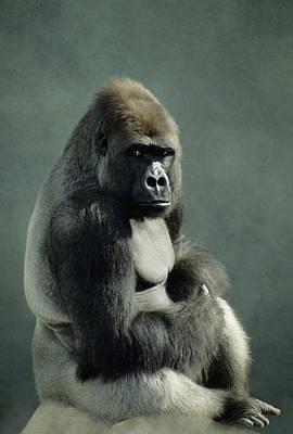 Contemplative Photograph - G&r.grambo, Mm-52-15 Lowland Gorilla by Rebecca Grambo
