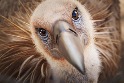 Birds Of Israel Photograph - Griffon Vulture Gyps Fulvus Israel by Reynold Mainse