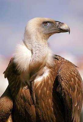 Griffon Wall Art - Photograph - Griffon Vulture (gyps Fulvus) by Photostock-israel