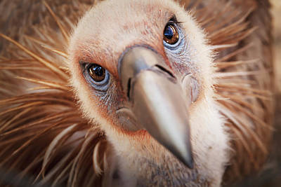 Bird Photograph - Griffon Vulture Gyps Fulvus by Reynold Mainse / Design Pics