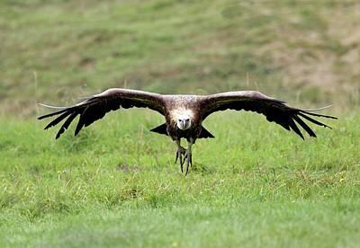 Griffon Vulture Landing Art Print