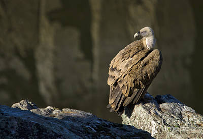 Bath Time Rights Managed Images - Griffon Vulture Royalty-Free Image by Perry Van Munster