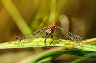 Dragonfly Photograph - Grinning In My Face by Susan Capuano