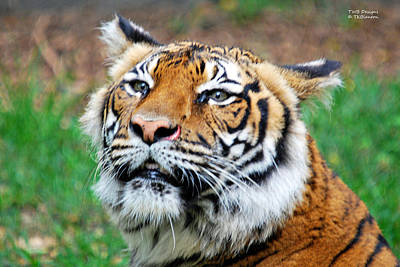 Photograph - Grinning Tiger by Teresa Blanton