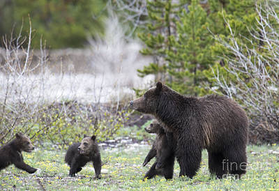Photograph - Grizzly 399 And Her 3 Cubs by Deby Dixon
