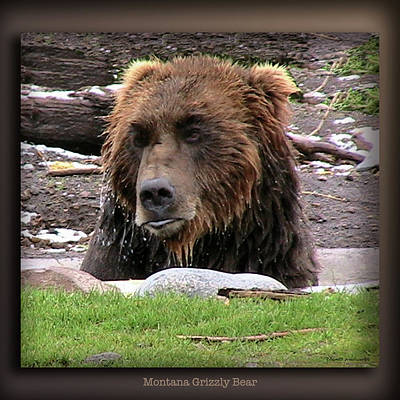 Montana Digital Art - Grizzly Bear 09 by Thomas Woolworth