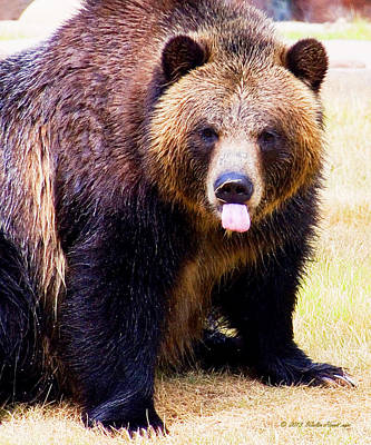 Photograph - Grizzly Bear 1 by Walter Herrit