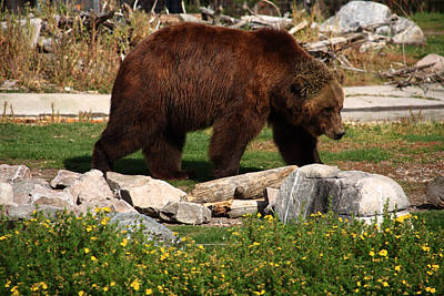 Photograph - Grizzly Bear by Aidan Moran