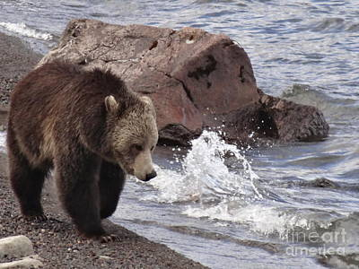 Photograph - Grizzly Bear At Yellowstone Lake by Dan Sproul