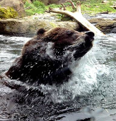 Photograph - Grizzly Bear Bath Time by Gary Smith