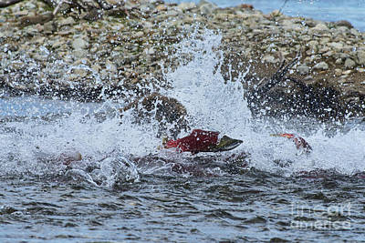 Brown Bear Chasing Salmon While Salmon Jump To Escape Art Print by Dan Friend